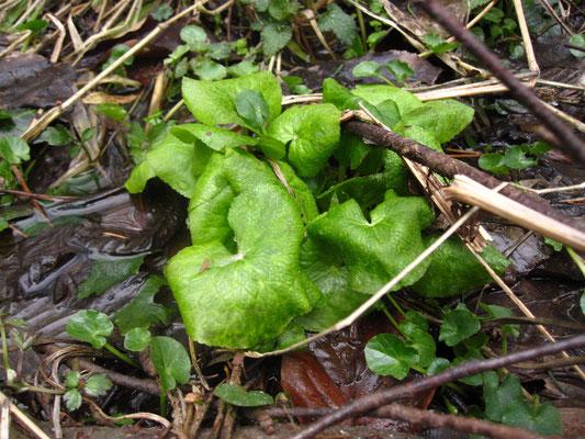 Sumpfdotterblume (Caltha palustris)