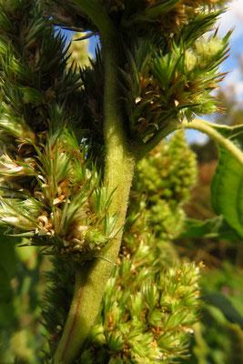 Rau-Amaranth (Amaranthus retroflexus)