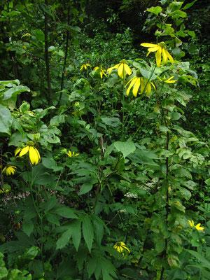 Schlitzblatt-Sonnenhut (Rudbeckia laciniata)