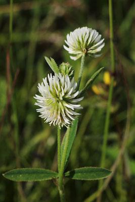Berg-Klee (Trifolium montanum) | Familie: Hülsenfrüchtler