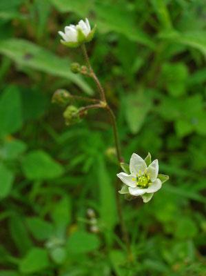 Acker-Spörgel (Spergula arvensis)