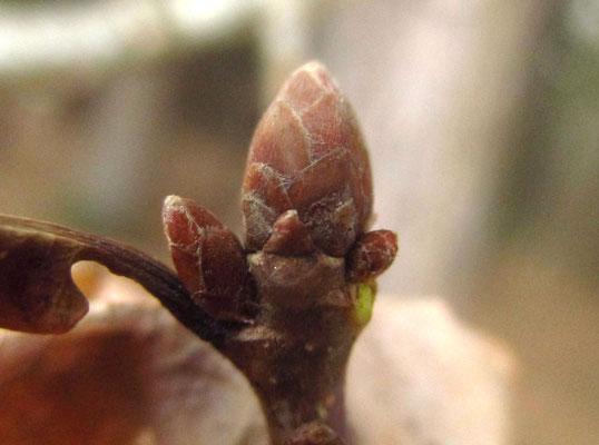 Stiel-Eiche (Quercus robur)   Knospen