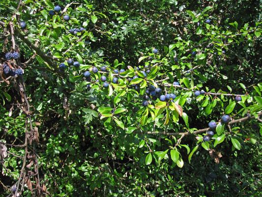 Schlehdorn (Prunus spinosa)