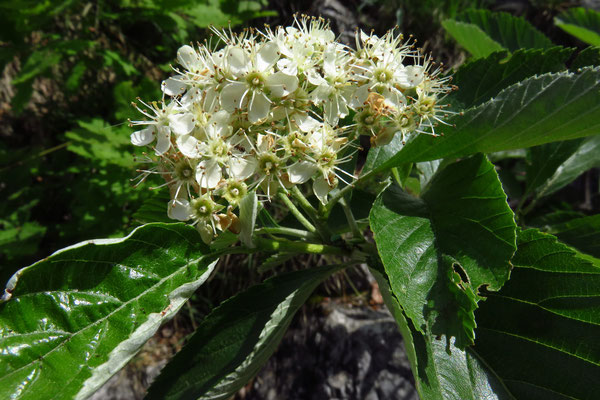 Echte Mehlbeere (Sorbus aria)