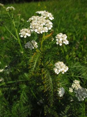 Echte Schafgarbe (Achillea millefolium agg.)