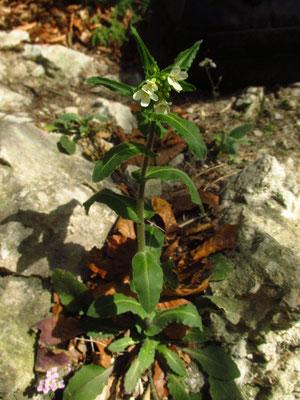 Bogenkresse (Pseudoturritis turrita)