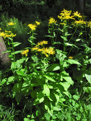 Österreich-Gamswurz (Doronicum austriacum) | Fam. Korbblütler (Asteraceae)