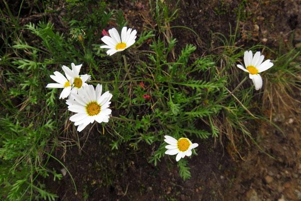 Alpenmargerite (Leucanthemopsis alpina) | Fam. Korbblütler (Asteraceae)