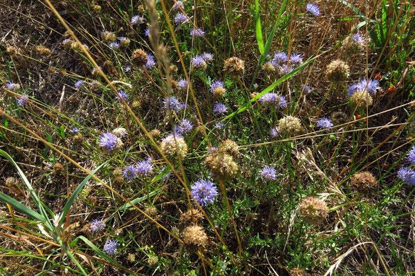 Berg-Sandknöpfchen (Jasione montana)