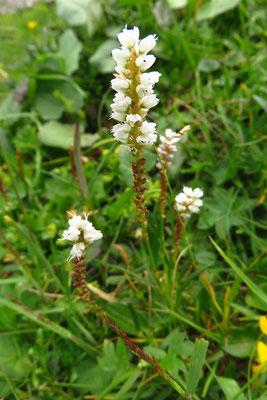 Knöllchen-Knöterich (Persicaria vivipara) | Fam. Knöterichgewächse (Polygonaceae)