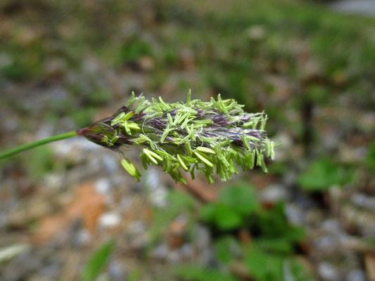 Kalk-Blaugras (Sesleria caerulea)