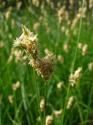 Seegras-Segge (Carex brizoides)