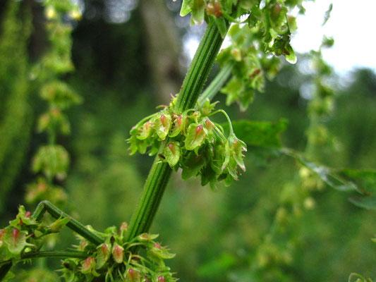 Stumpfblatt-Ampfer (Rumex obtusifolius)