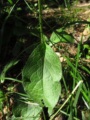 Echte Färberscharte (Serratula tinctoria)
