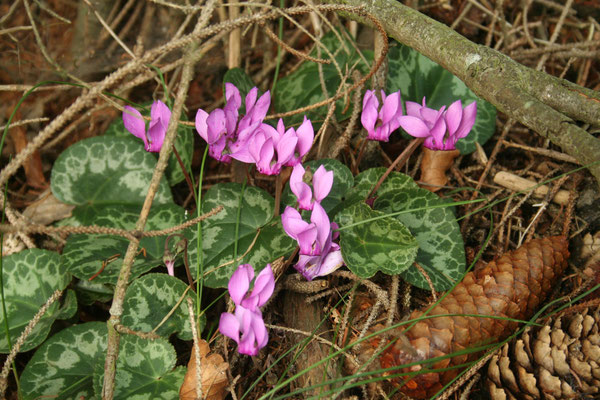 Zyklame (Cyclamen purpurascens)