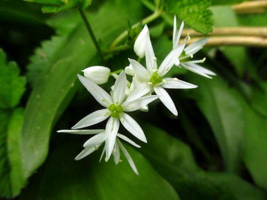 Bär-Lauch (Allium ursinum)