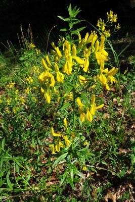 Färber-Ginster (Genista tinctoria) | Fam. Hülsenfrüchtler (Fabaceae)