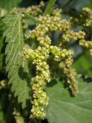 Große Brennnessel (Urtica dioica) | männliche Pflanze