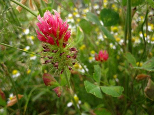 Inkarnat-Klee (Trifolium incarnatum)
