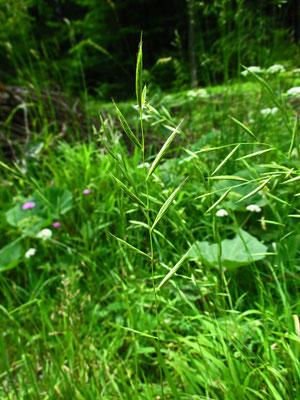 Fieder-Zwenke (Brachypodium pinnatum)