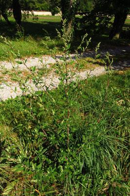Streifen-Gänsefuß (Chenopodium strictum)