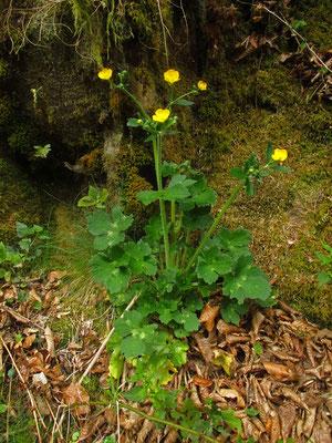 Woll-Hahnenfuß (Ranunculus lanuginosus)