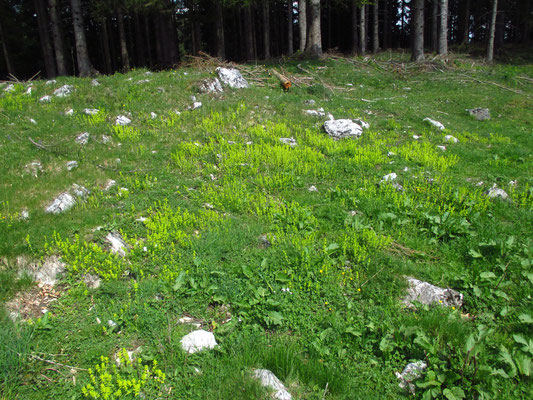 Wiesen-Kreuzlabkraut (Cruciata laevipes)