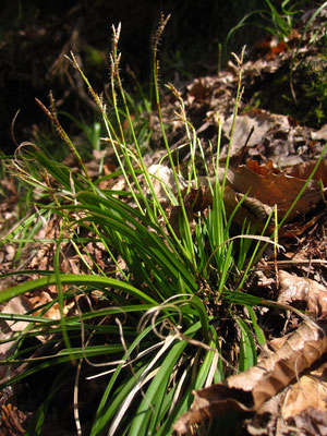 Finger-Segge (Carex digitata)