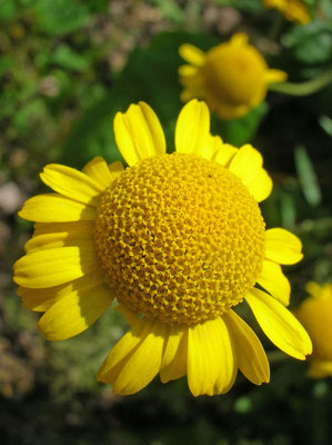 Färber-Hundskamille (Anthemis tinctoria)