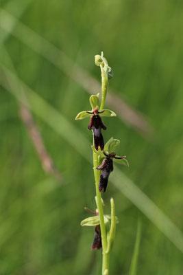 Fliegen-Ragwurz (Ophrys insectifera) | Familie: Orchideen | teilweise geschützt!