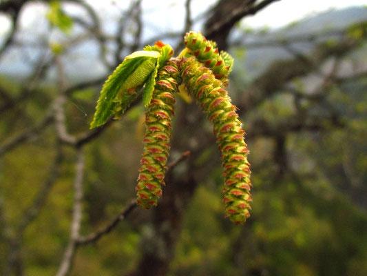 Europa-Hopfenbuche (Ostrya carpinifolia) | männliche Blüten