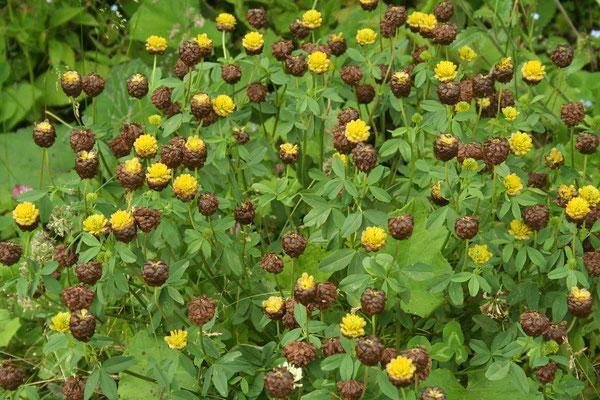 Braun-Klee (Trifolium badium)