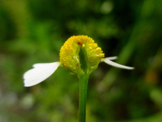 Echte Kamille (Matricaria chamomilla)