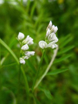 Zweisamen-Wicke (Vicia hirsuta)