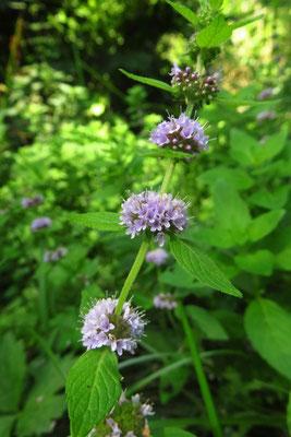 Acker-Minze (Mentha arvensis)