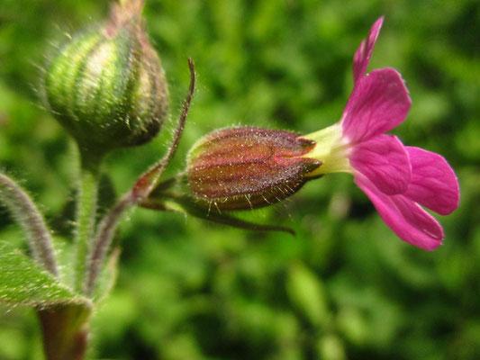 Rote Lichtnelke (Silene dioica) | weibliche Pflanze