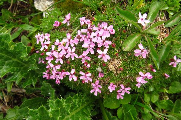 Stängelloses Leimkraut (Silene acaulis) | Fam. Nelkengewächse (Caryophyllaceae)