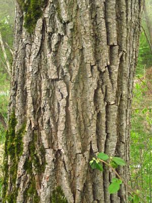 Bruch-Weide (Salix fragilis)   Borke