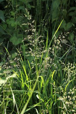Gewöhnliches Rispengras (Poa trivilalis)