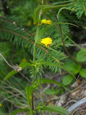Wald-Wachtelweizen (Melampyrum sylvaticum) | Fam. Sommerwurzgewächse (Orobanchaceae)
