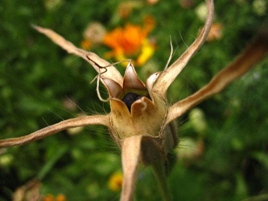 Kornrade (Agrostemma githago)