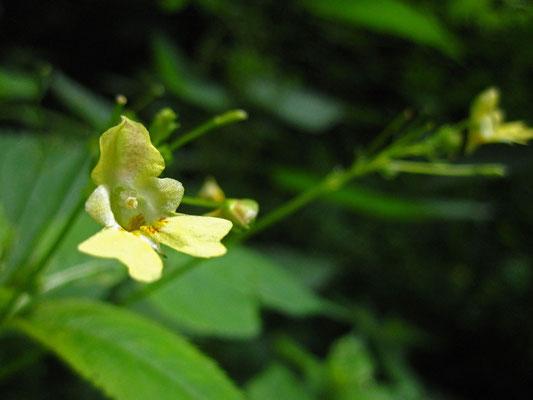 Klein-Springkraut (Impatiens parviflora)