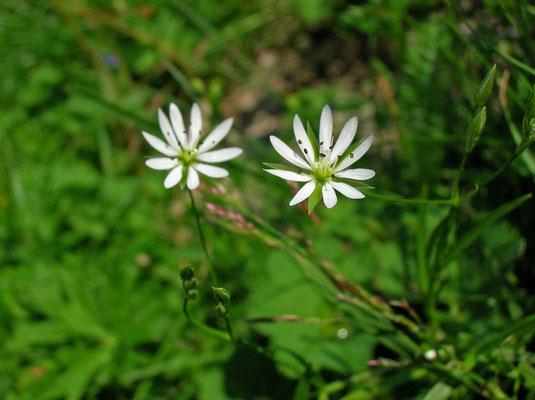 Gras-Sternmiere (Stellaria graminea)