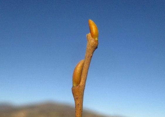 Bruch-Weide (Salix fragilis)   Knospe