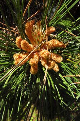 Schwarz-Föhre (Pinus nigra) | männliche Blüten