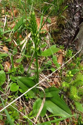 Grünliche Waldhyazinthe (Platanthera montana)