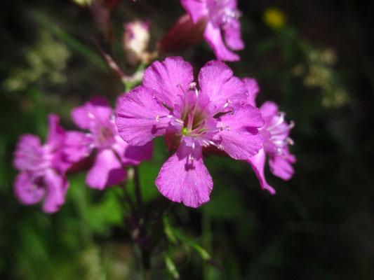 Gewöhnliche Pechnelke (Viscaria vulgaris)