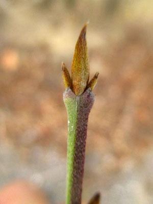 Kornelkirsche (Cornus mas) | Knospe