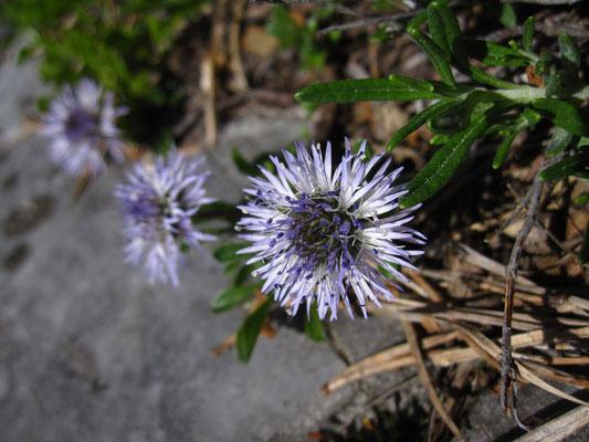 Herzblatt-Kugelblume (Globularia cordifolia)