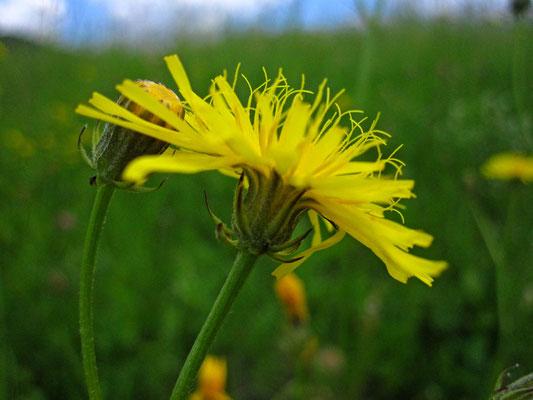 Wiesen-Pippau (Crepis biennis)